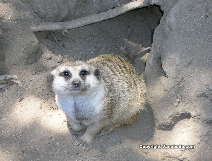 Picture of meerkat at san diego zoo in balboa park