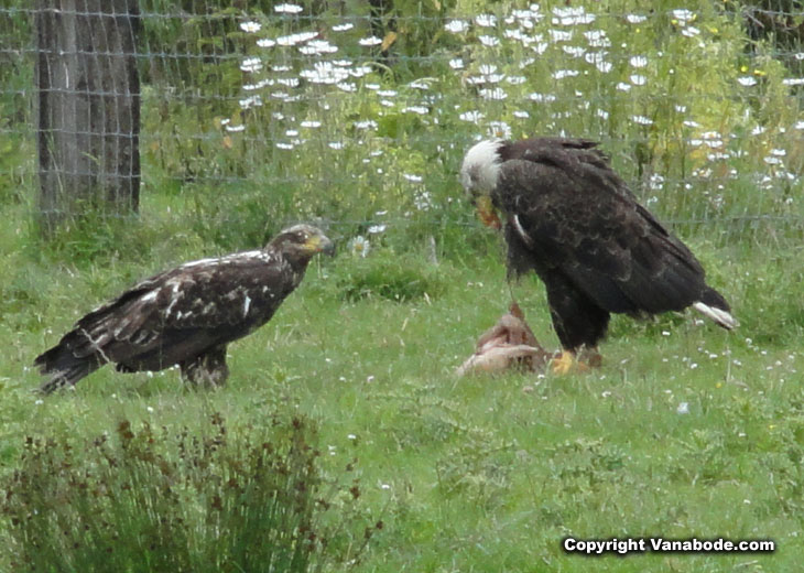 picture of wild bald eagles eating dead animal at game farm