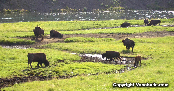 buffalo herd in yellowstone picture