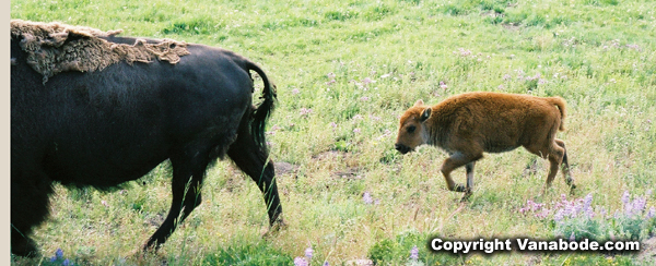 buffalo calf yellowstone park picture