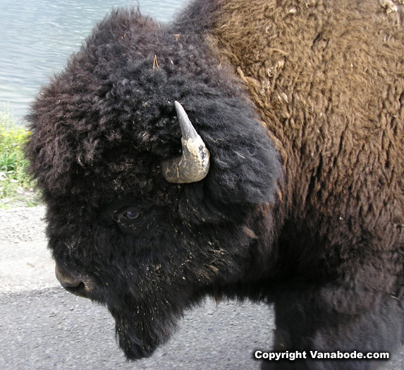 bison on road in yellowstone picture