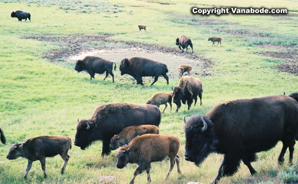 bison in meadow in yellowstone picture