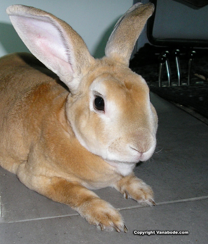 Picture of Mini Rex rabbit