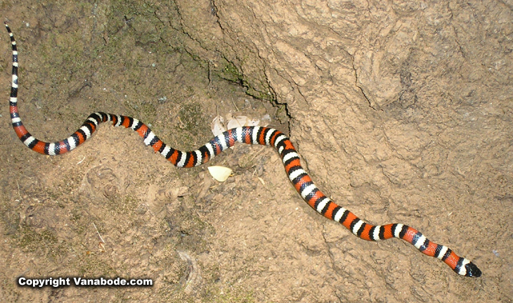california king snake picture
