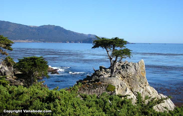 famous tree growing nearly on the ocean in california picture
