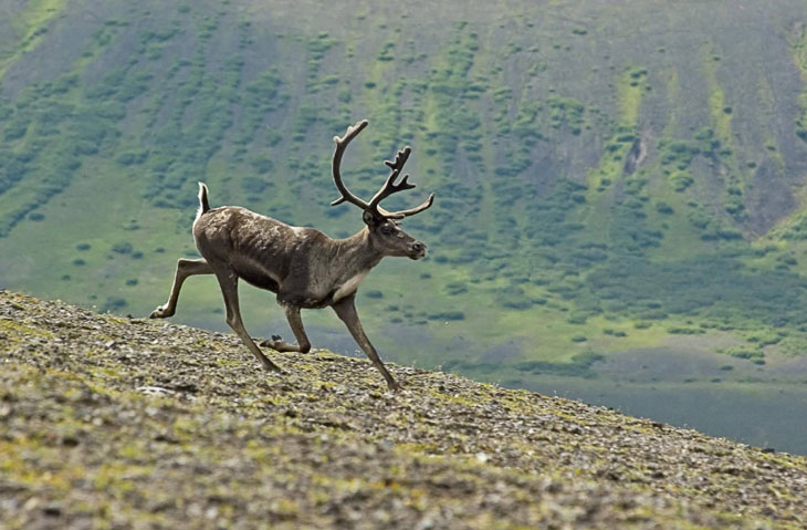 Picture of caribou in Aniakchak caldera