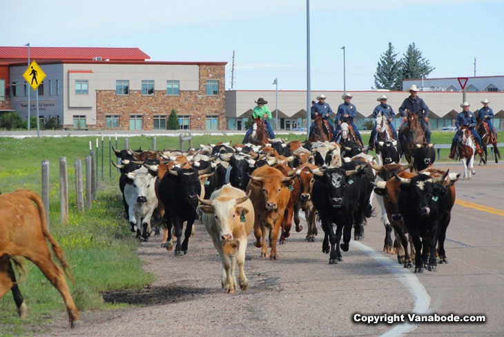 cattle stampede in Wyoming's Cheyenne city