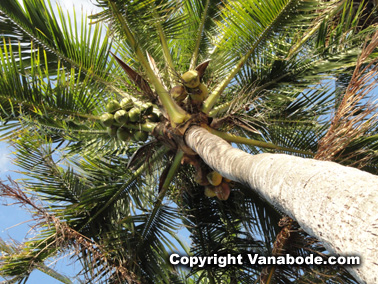 coconut palm tree in florida keys picture
