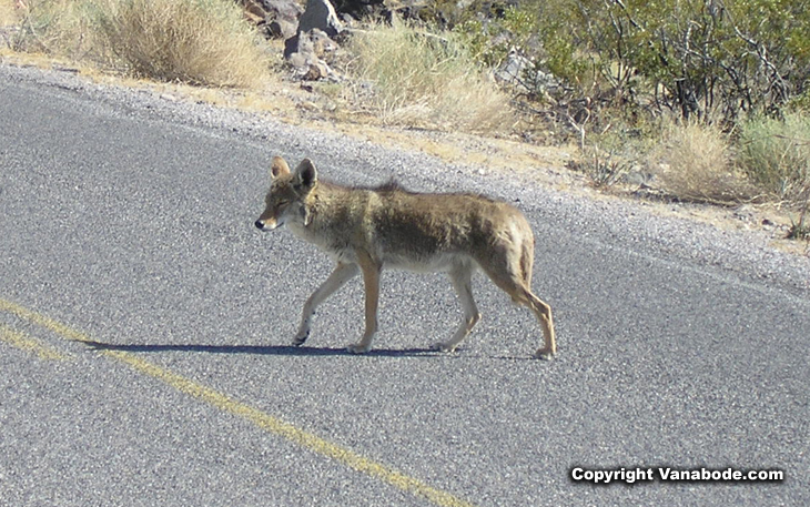 picture of coyote in death valley california