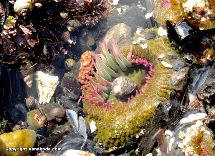 washington tide pool shells anemone picture