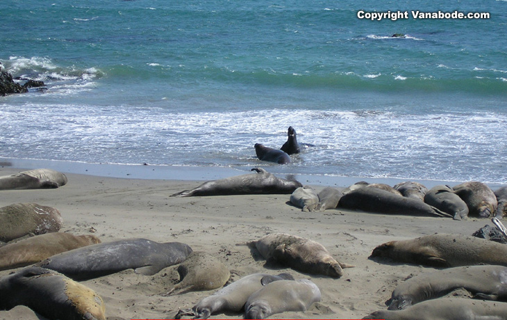 elephant seals on the san simeon beach in california