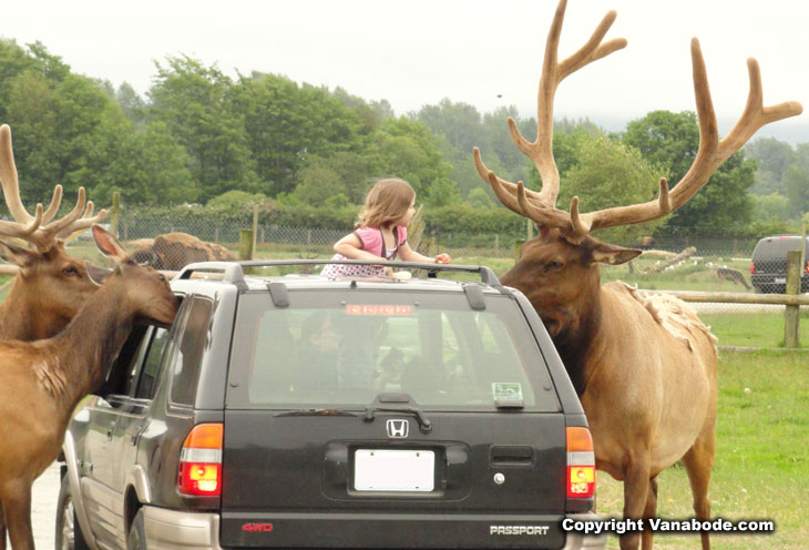 picture of elk attacking car for bread in washington