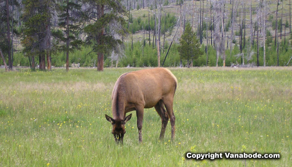 Yellowstone elk picture