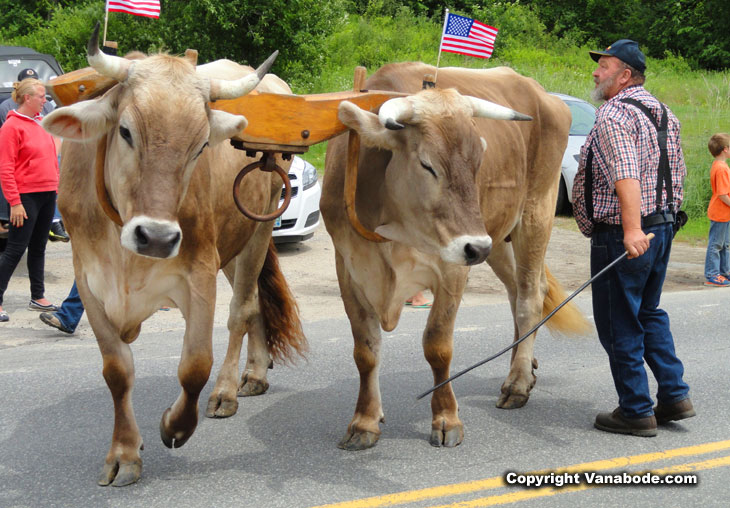 oxen in parade without harness or bits