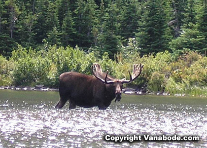 picture of moose eating while standing in water in glacier