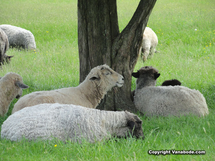 sheep sleep in new jersey