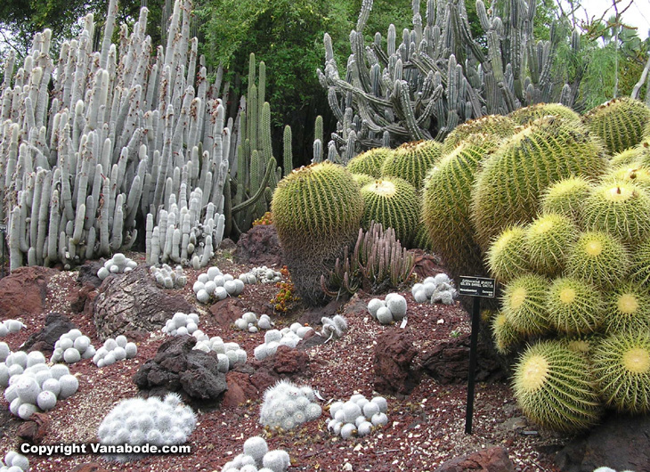 picture of huntington gardens barrel cactus and silver torch