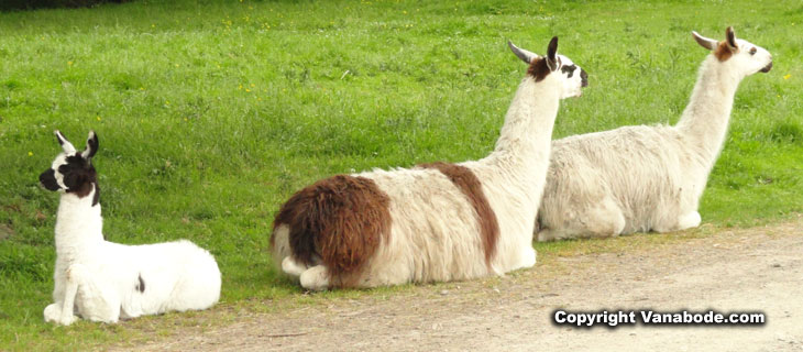 picture of llamas at olympic game farm