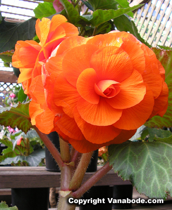 picture of begonia in bloom at mendocino gardens