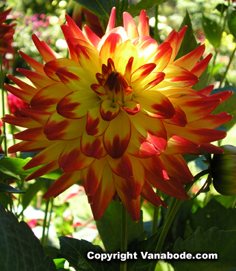 flame dahlia at mendocino gardens picture