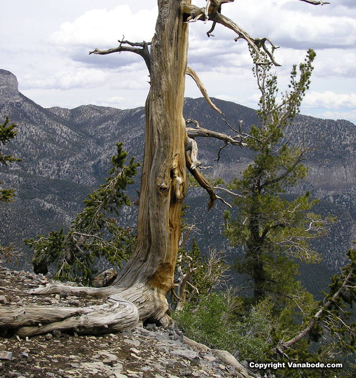 picture of a beautiful old pine formed by years on a rocky cliff in nevada