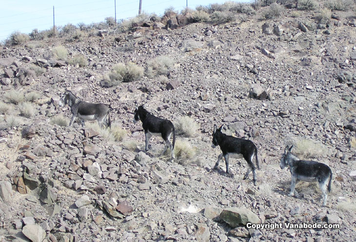 Picture of wild burros near Goldfield Nevada