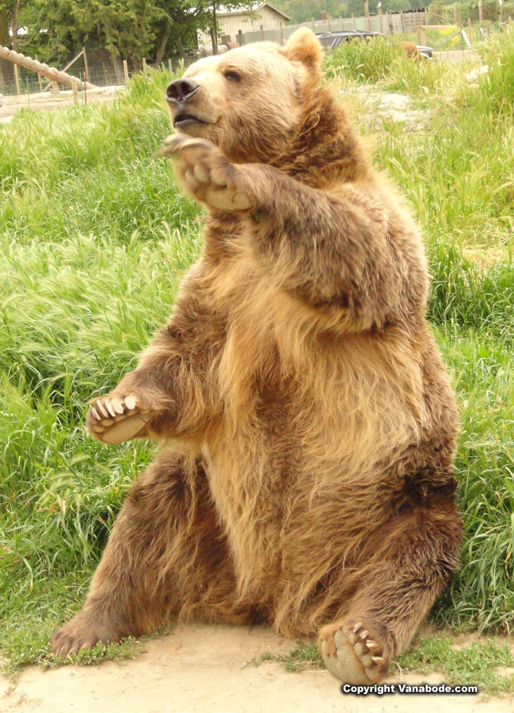 picture of bear waving for bread at olympic game farm in washington