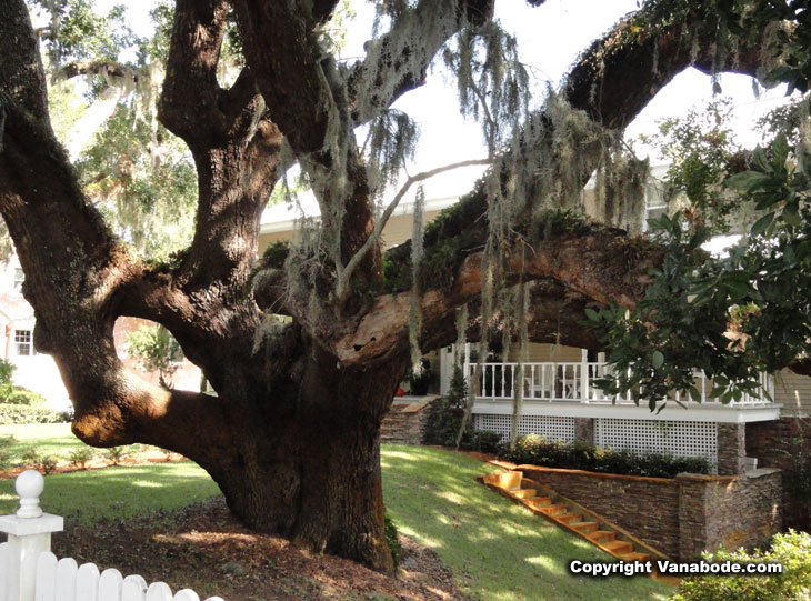 picture of old oak along ormond scenic drive