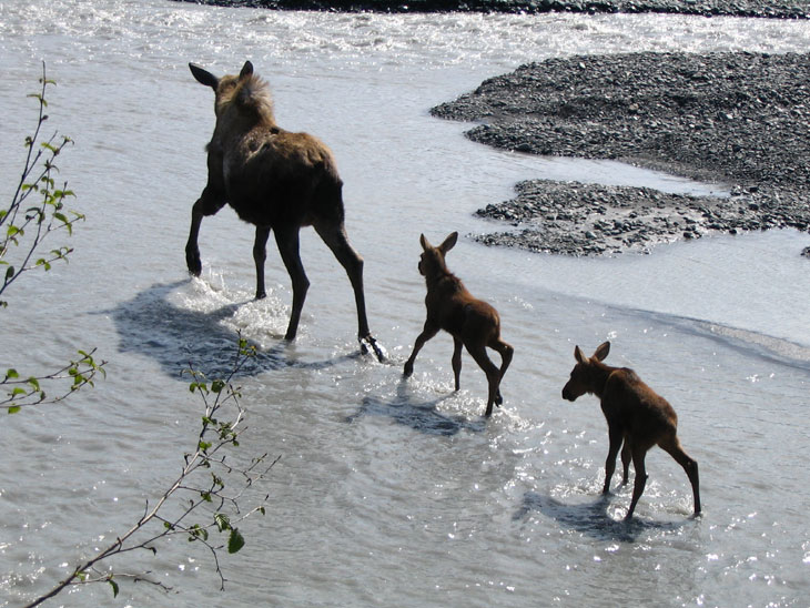 picture of moose with two babies in kenai fjords alaska