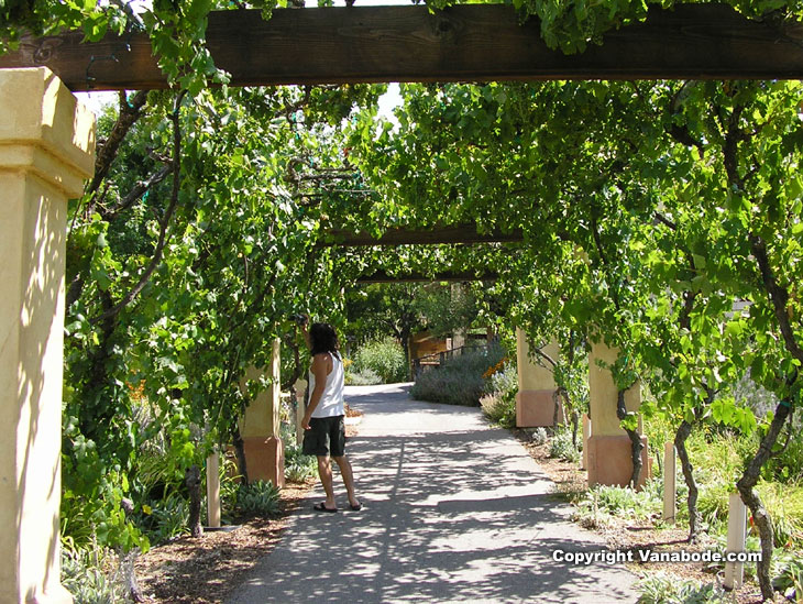 picture of grape vine walkway in paso robles california