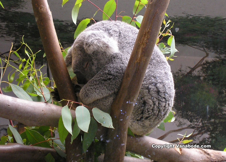 koala at balboa park san diego picture