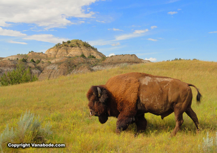 Big bull bison in Theodore Roosevelt National Park on the South side