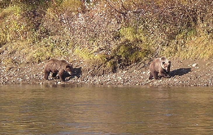 Picture shows two grizzly bears in Alaska