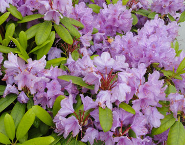 picture of washington state flower the coast rhododendron