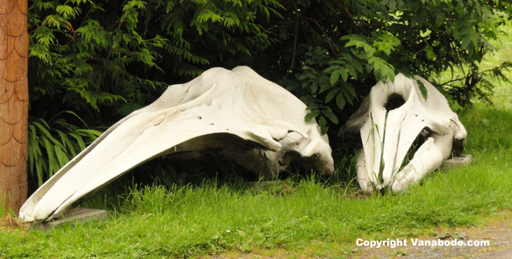 picture of whale skull and jaw bone cape flattery washington