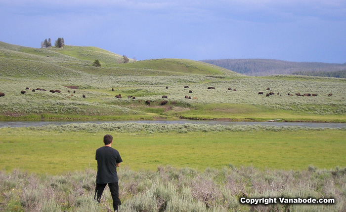yellowstone prairie picture with bison herds