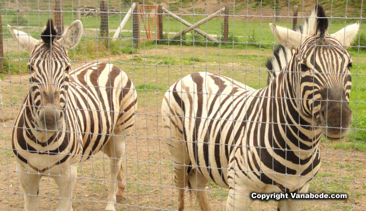 photo of zebra at washington game farm