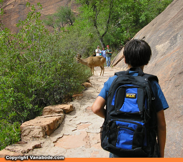 zion deer on trail picture